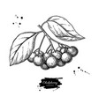 chokeberry drawing hand drawn botanical vector image vector image