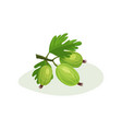 juicy gooseberries with green leaves sweet and vector image
