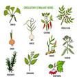 circulatory stimulant herbs vector image vector image
