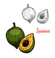 lucuma sketch tropical fruit vector image