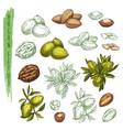 sketch argan plant or argania houseplantnature vector image vector image