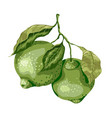 lime fruit with leaves on the branch sweet sort vector image