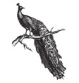 peacock vintage vector image