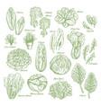salad leaf and vegetable greens sketch set design vector image vector image