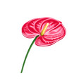 anthurium summer tropical vector image vector image