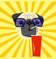 head of pug drinking soda on yellow starburst vector image vector image