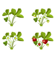 Strawberry growth phases vector image