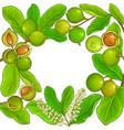 macadamia branches frame vector image vector image