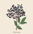 elderberry berry vector image