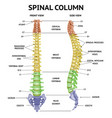 spine anatomy realistic chart