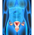 Female genitals diagram in human vector image vector image