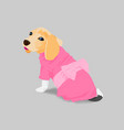 adorable beagle in pink dress vector image vector image