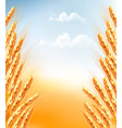 Ears of wheat background vector image vector image