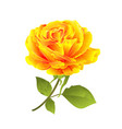 flower yellow rose on a white background vector image vector image