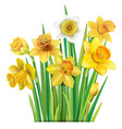 bouquet of yellow daffodils on vector image