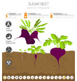 beetroot beneficial features graphic template vector image
