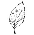leaf drawing on white background vector image vector image