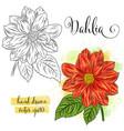 botanical art watercolor dahlia flower vector image vector image