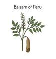 balsam of peru myroxylon balsamum medicinal vector image vector image