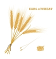 Ears of wheat tied with twine and a handful of vector image vector image