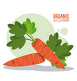 organic healthy food carrot harvest vector image