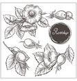 canine hip dog rose hand drawn botanical sketch vector image