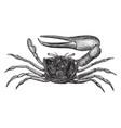 sand fiddler crab vintage vector image vector image