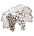 Bunch of grapes sketch style vector image