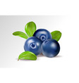 blueberries on transparent background quality vector image
