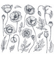 collection hand drawn poppy flowers vector image vector image