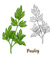 color realistic sketch of parsley vector image