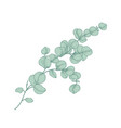 eucalyptus gunnii or cider gum sprig with green vector image