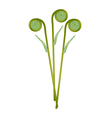 Fresh Green Fiddleheads on A White Background vector image vector image