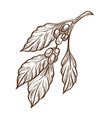 grains or seed coffee beans and leaves isolated vector image