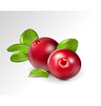 two cranberry with leaves on transparent full vector image vector image