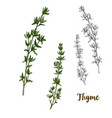 full color realistic sketch of thyme vector image vector image
