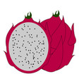 red pitahaya on white background vector image vector image
