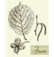 leaves flowers and fruits of the hazel vector image
