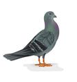 Carrier pigeon breeding bird sports bird vector image vector image