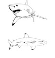 striker great white shark with open mouth vector image