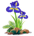 iris flowers and rocks on white background vector image vector image