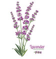 lavender flower on white background colorful vector image