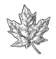 Maple leaf vintage engraved vector image