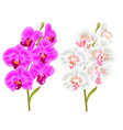 branches orchid phalaenopsis purple and white vector image vector image