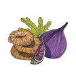 elegant detailed natural drawing of delicious fig vector image vector image
