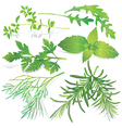 Collection of fresh herbs vector image vector image