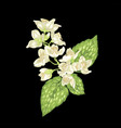 jasmine branch graphic on the black vector image vector image