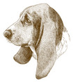 engraving antique of basset hound head vector image vector image