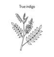 true indigo indigofera tinctoria medicinal plant vector image