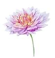 Watercolor dahlia flowers vector image vector image
